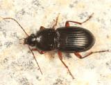 Pterostichus commutablis