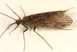Dolophilodes distinctus