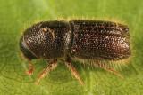 Pityokteines sparsus