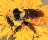 Tricolored Bumble Bee queen - Bombus ternarius