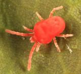 Trombidiidae - Trombidium sp.