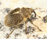 Ceutorhynchus omissus
