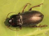 Harpalus affinis