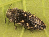 Acmaeodera tubulus