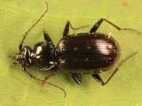 Ground Beetles - Subfamily Loricerinae