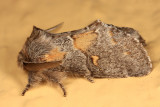 7933 - Four-spotted Gluphisia - Gluphisia avimacula