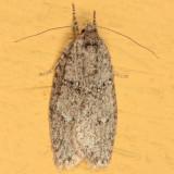 0914 - Semioscopis inornata