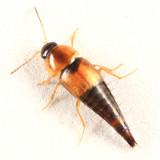 Tachyporus maculicollis
