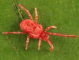 Trombidiidae - Allothrombium sp.