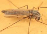 Glyptotendipes paripes