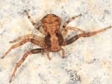 Xysticus fraternus
