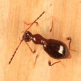 Brathinus varicornis