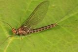 Siphlonurus typicus