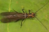 Isoperla similis