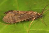 Phylocentropus placidus