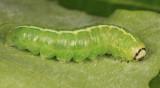 9555 - Even-lined Sallow - Ipimorpha pleonectusa