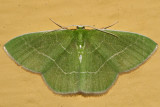 7048 - White-Fringed Emerald - Nemoria mimosaria