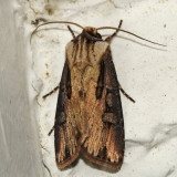 10659 - Voluble Dart - Agrotis volubilis