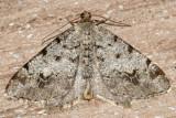 6343 - Macaria sexmaculata
