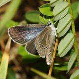 Silvery Blue - Glaucopsyche lygdamus (female)