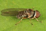Pipunculus sp.