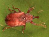 Pseudanthonomus validus