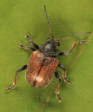 Bromius obscurus (Western Grape Rootworm)