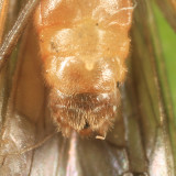 Ostrocerca albidipennis