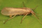 Limnephilus parvulus