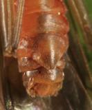 Soyedina vallicularia