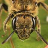 Lasioglossum cressonii