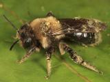 Andrena regularis