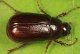 Phyllophaga fraterna