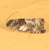3229 - Gypsonoma adjuncta