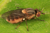 Parectecephala sp.