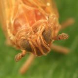 Javesella pellucida (female)
