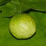 Amphibolips quercusspongifica (gall)