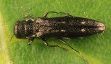 Agrilus obsoletoguttatus
