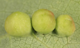 Harmandia sp. (galls)