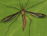 Tipula caloptera (female)
