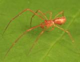 Neospintharus trigonum (male)