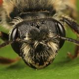 Andrena erythrogaster