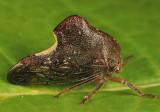 Telamona monticola