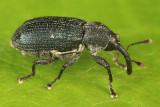 Mesoptiliinae - Magdalis austera