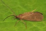 Phylocentropus lucidus