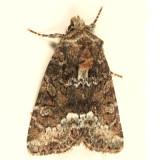 9415.1 - Marbled Minor - Oligia strigilis