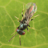Tetrastichus sp.