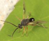 Amphibolips quercusspongifica