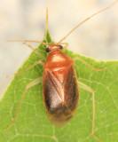 Neolygus hirticulus