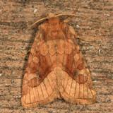 9514 - Rosy Rustic Moth - Hydraecia micacea